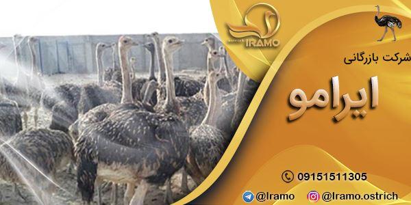 قیمت شترمرغ مولد در ایران