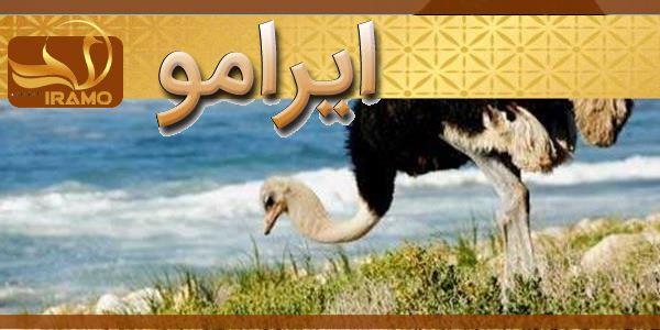 شترمرغ مولد در مشهد