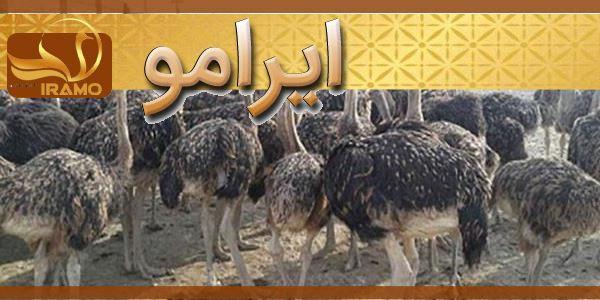 شترمرغ مولد در مشهد قیمت