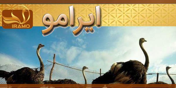 تهیه شترمرغ مولد از مزرعه در مشهد