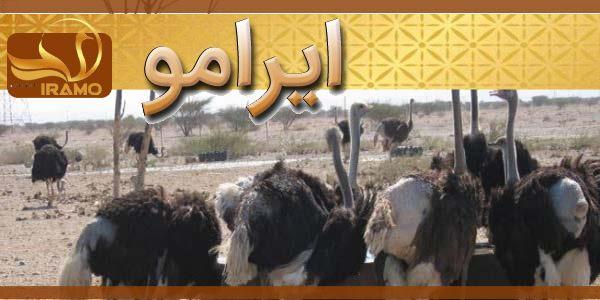 فروش جوجه شترمرغ پرواری در شیراز