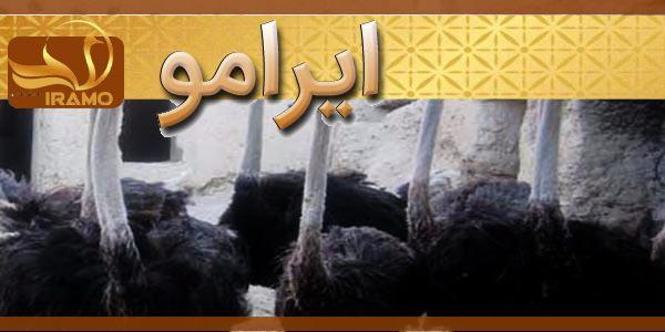 فروش جوجه شترمرغ پرواری در شیراز با بهترین قیمت