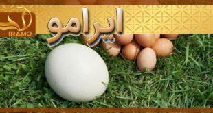 فروش تخم شترمرغ مولد