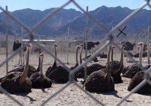 پروار بندی شترمرغ