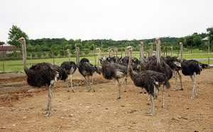 شرکت پخش شتر مرغ پرواری
